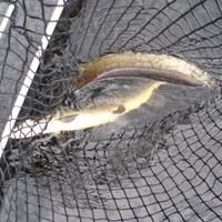 Image link, two fish in a net