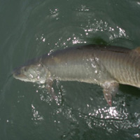 Image link, a fish being released back into the water
